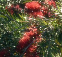 Angelic Red Wattle #2 - Nov 2010 by tmac