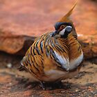 Spinifex Pigeon by naturalnomad