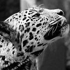 Leopard looking up by ljm000
