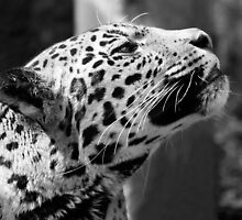 Leopard looking up by ljm000
