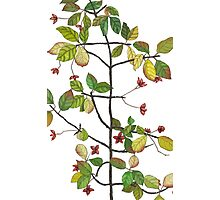 spindle tree  Photographic Print