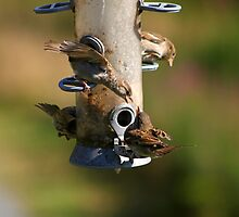 Squabbling Sparrows by GreyFeatherPhot