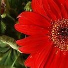 Red Gerbera by Gilberte