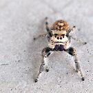 Jumping Spider by Eric Ford