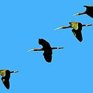 White-faced Ibis Over the Lower Klamath by Chuck Gardner