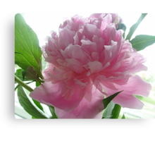 Gentle color Peony Canvas Print