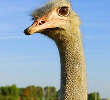 Ostrich, I got my Eye on you by 7horses