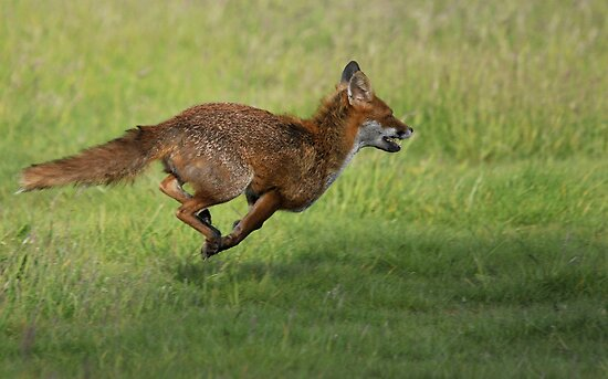 red fox on the run by Grandalf