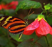 Tiger Longwing - Heliconius hecale by Lepidoptera