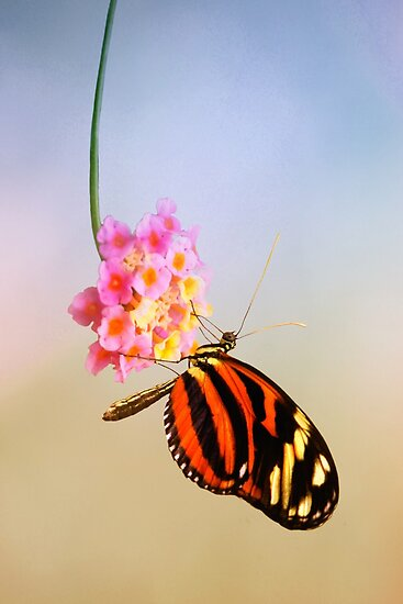 Tiger longwing butterfly by Lyn Evans