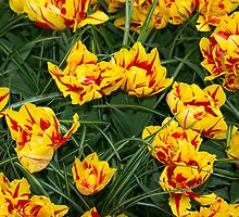 Red yellow speckled Tulips  by Rob Hawkins