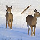 Where is mom? twin white-tailed fawns by amontanaview