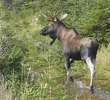 Why Did the Moose Cross the Road? by Todd Weeks