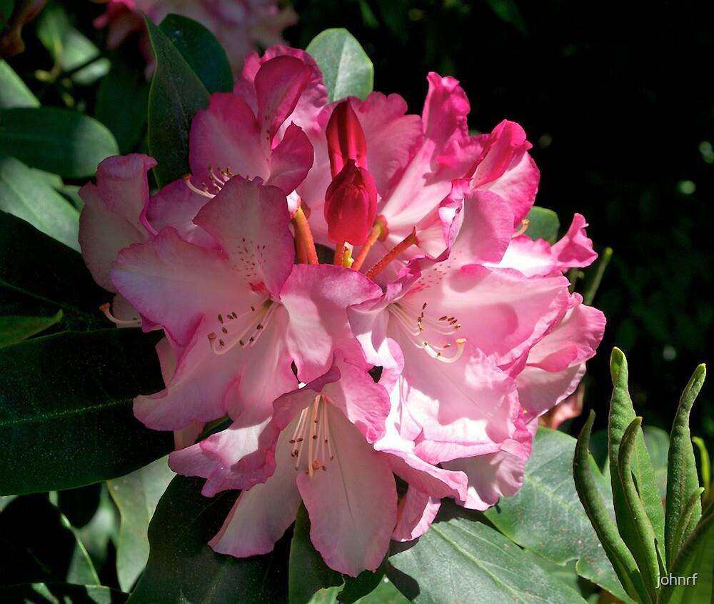 Rhododendron, Dunedin Botanical Gardens, NZ. by johnrf