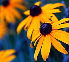 Black-eyed Susan Blues by axalle
