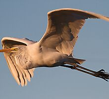 112310 Great White Egret by Marvin Collins