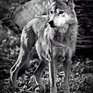 Canis Lupus Baileyi - Mexican Wolf by Scott Denny