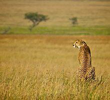 Hunter - A cheetah in the Serengeti by Antony Kuzmicich