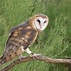 Barn Owl ~ Captive by Kimberly P-Chadwick