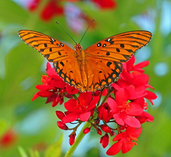Butterfly at palm island 2 by jozi1