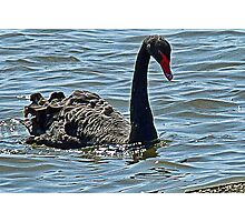 Black Swan at Abbotsbury  Swannery Photographic Print
