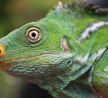 Iguana by Bami