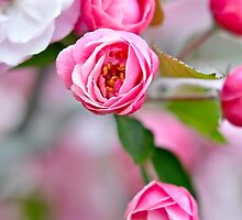 Pink Flowers by michaelshelley