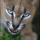 Caracal Lynx feeding by Ian Midwinter