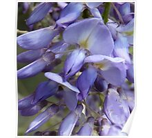 Wysteria beauty Poster