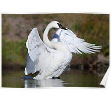 Trumpeter Swan Poster