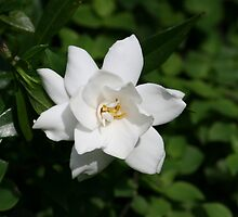 Creeping Gardenia: First Bloom by aussiebushstick