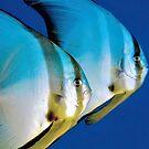 Batfish by Melissa Fiene