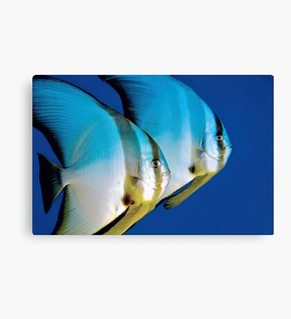 Batfish Canvas Print