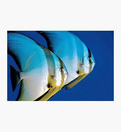 Batfish Photographic Print