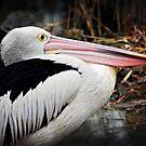 Pelican by Melissa Dickson