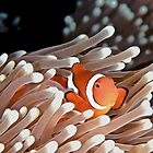Anemonefish by Melissa Fiene