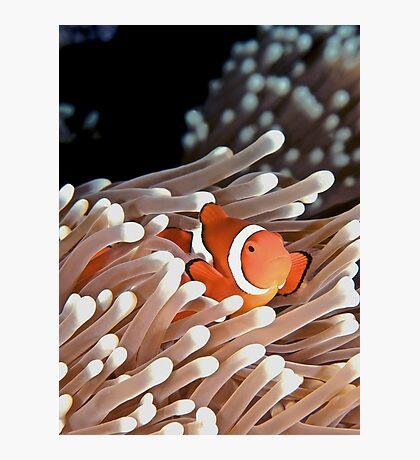 Anemonefish Photographic Print