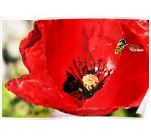 Bee landing on a poppy Poster