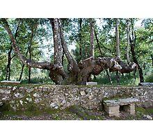 Six-legged Tuscan Tree-Italy Photographic Print