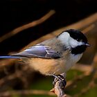 Chic Chic Chicadee by John Absher