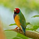 Gouldian Finch by Robert Abraham