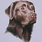 Harley Chocolate labrador by Stephanie Greaves