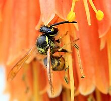 Foraging wasp - image 3 by missmoneypenny