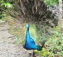Peacock by Bami