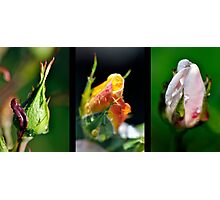 Rosebud Collage Photographic Print