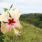 Hibiscus in Fiji by Bami