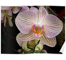 Splendid orchid Poster