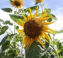 Sunflowers in Fiji by Bami