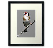 Scottish Goldfinch Framed Print