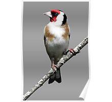 Scottish Goldfinch Poster